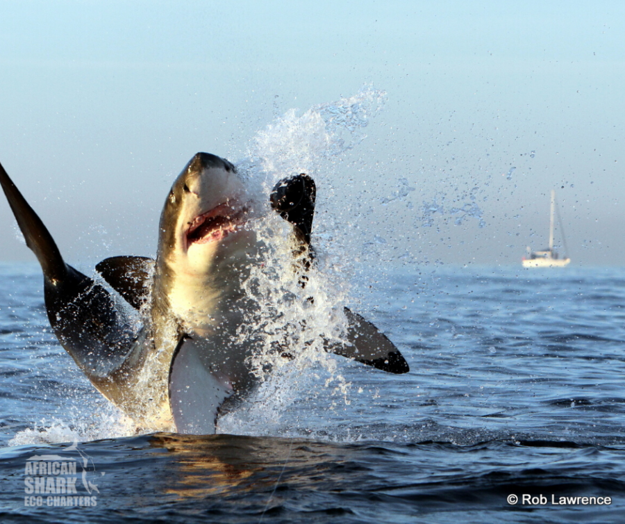 African Shark Eco-Charters in Simonstown Cape Town Western Cape